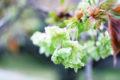 緑色の花が咲く桜 - 御衣黄(ギョイコウ)
